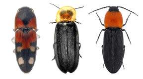 Trio de scarabées de clic Image libre de droits