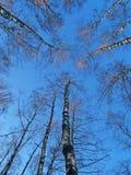 Trio degli alberi Fotografia Stock