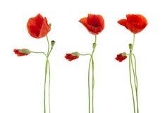 Trio dei fiori rossi dei papaveri isolati Fotografia Stock Libera da Diritti