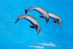 Trio del delfino Fotografia Stock Libera da Diritti