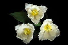 Trio del tulipano Fotografie Stock