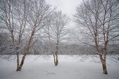 Trio dell'albero di inverno Fotografia Stock