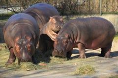 Trio dell'ippopotamo Fotografia Stock
