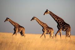 Trio della giraffa all'indicatore luminoso di sera Fotografie Stock