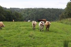 Trio della mucca Fotografia Stock