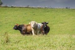 Trio della mucca Immagine Stock