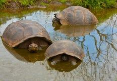 Trio della tartaruga di Galapagos Immagini Stock Libere da Diritti