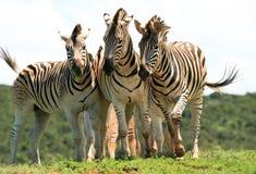 Trio della zebra Fotografie Stock Libere da Diritti