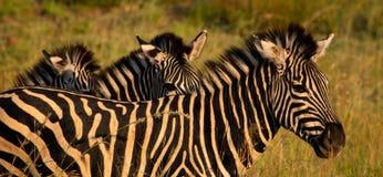 Trio della zebra fotografia stock