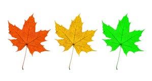 Trio delle foglie di acero Fotografia Stock