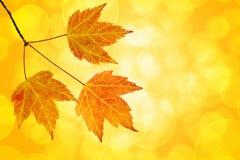 Trio delle foglie di acero di caduta con la priorità bassa di Bokeh Immagini Stock
