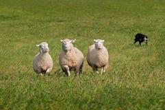 Trio delle pecore mandriane dentro dal cane di riserva Fotografie Stock Libere da Diritti