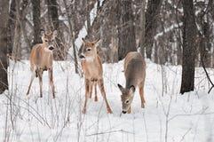 Trio der Weiß-Angebundenen Rotwild im Snowy-Holz lizenzfreie stockbilder