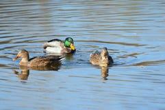 Trio des canards sur un étang Image libre de droits