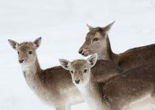 Trio des cerfs communs Image libre de droits