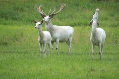 Trio des cerfs communs blancs Photos libres de droits