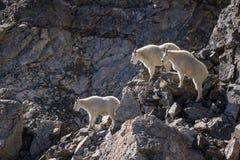Trio des chèvres de montagne Image stock