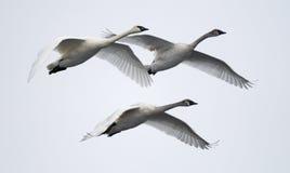 Trio des cygnes de trompettiste de vol Photos stock