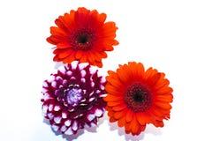 Trio des fleurs rouges/pourpre/blanc Photographie stock