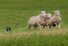 Trio des moutons menés au-dessus de la colline par le chien courant Photographie stock