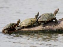 Trio des tortues dans le Texas Photos libres de droits