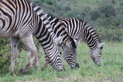 Trio di alimentazione della zebra Fotografie Stock