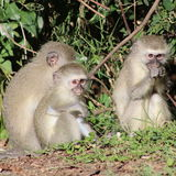Trio di giovani scimmie di vervet Fotografia Stock Libera da Diritti