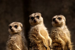 Trio di Meercat Fotografia Stock