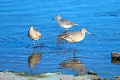 Trio die van Regenwulpshorebirds in Ventura estuariumdomein nadenken in Californië de V.S. stock foto's