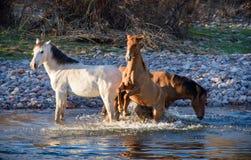 Trio die van wilde merries in de zoute rivier spelen Royalty-vrije Stock Afbeelding