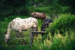 Trio do cavalo que bebe pela cama de rio fotos de stock