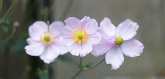 Trio of dog roses Royalty Free Stock Image