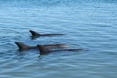 Trio Dolphins in blue. Trio dolfins at Monkey Mia in Western Australia Royalty Free Stock Image
