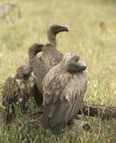 Trio dos abutres Fotos de Stock Royalty Free