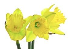 Trio dos Daffodils Fotografia de Stock