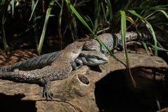 Trio dos lagartos Foto de Stock Royalty Free