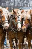 A Trio of Draft Horses Royalty Free Stock Photography
