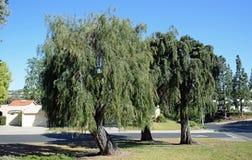 Trio du même type d'arbres pleurants en bois de Laguna, la Californie Photo libre de droits