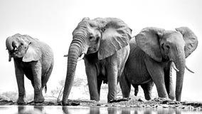 Trio of elephants royalty free stock photo