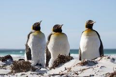 Trio för konungpingvin på stranden Royaltyfri Bild