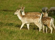 Trio of fallow deer Stock Photography