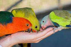 Trio of Feeding Parrots Stock Image
