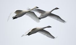Trio of Flying Trumpeter Swans Stock Photos