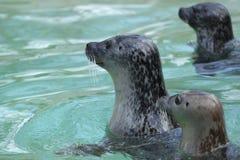 Eastern Atlantic harbour seal Stock Image