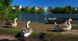 Trio Geese time to relax in Diss Mere park. Stock Photo