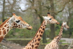Trio of girafes. The detail of upper body of the trio of giraffes Royalty Free Stock Photography