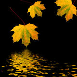 Trio of Golden Leaves Royalty Free Stock Photos