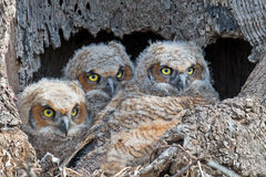 A trio of Great Horned Owls Owlets in Nest. A trio Great Horned Owlets sitting in tree cavity nest Royalty Free Stock Image