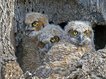 A trio of Great Horned Owls Owlets in Nest. A trio Great Horned Owlets sitting in tree cavity nest royalty free stock photo