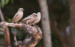 A trio of Grey-capped Social Weavers Stock Photography